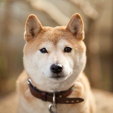【超ライトニングトーク回①】柴犬よ永遠に