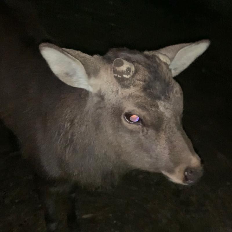 ゆる夜の奈良公園で鹿とデート中とーく