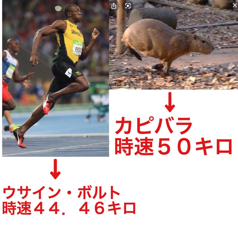 ♋️544:カピバラは本気で走ったらウサイン・ボルトを追い抜いていく。