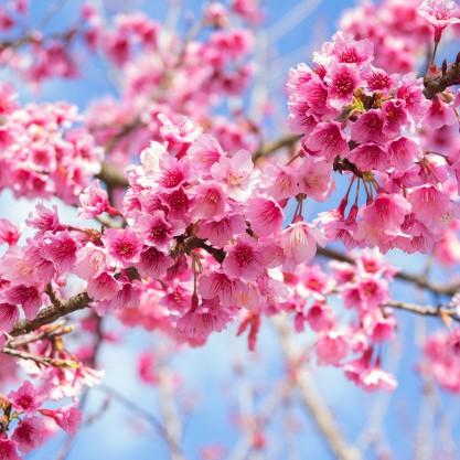 #41 河津の桜