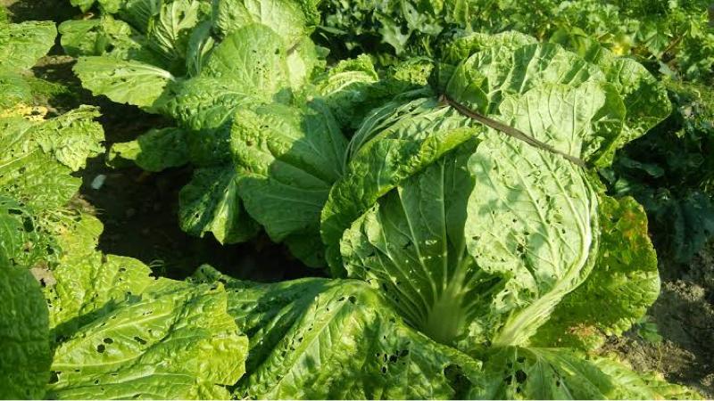 『虫に喰われてる野菜は新鮮で美味しいは嘘!?』