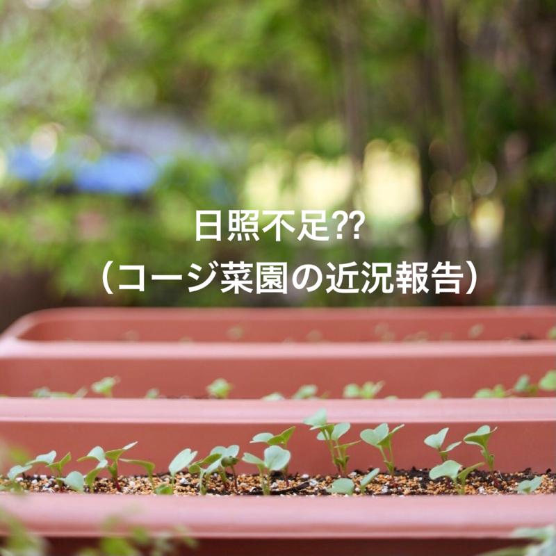 #527 日照不足⁇(コージ菜園の近況報告)
