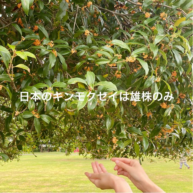 #663 日本のキンモクセイは雄株だけらしい