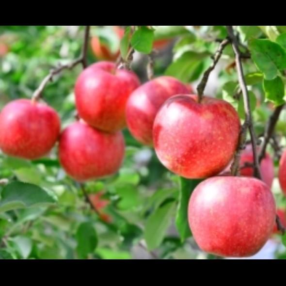 #13 🍎「特別なりんご」が実るステキな場所🍎