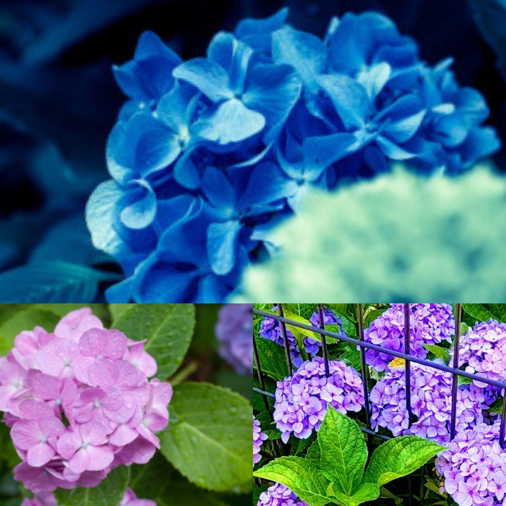 #90💙雨の紫陽花と真夜中の電話