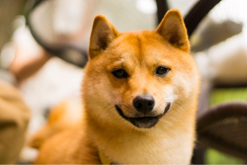 1匹目【柴犬】