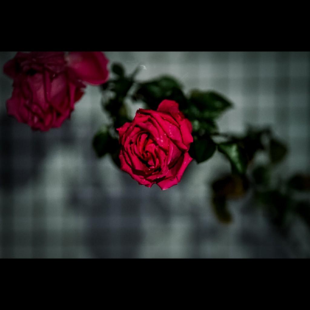 バラ色の日々