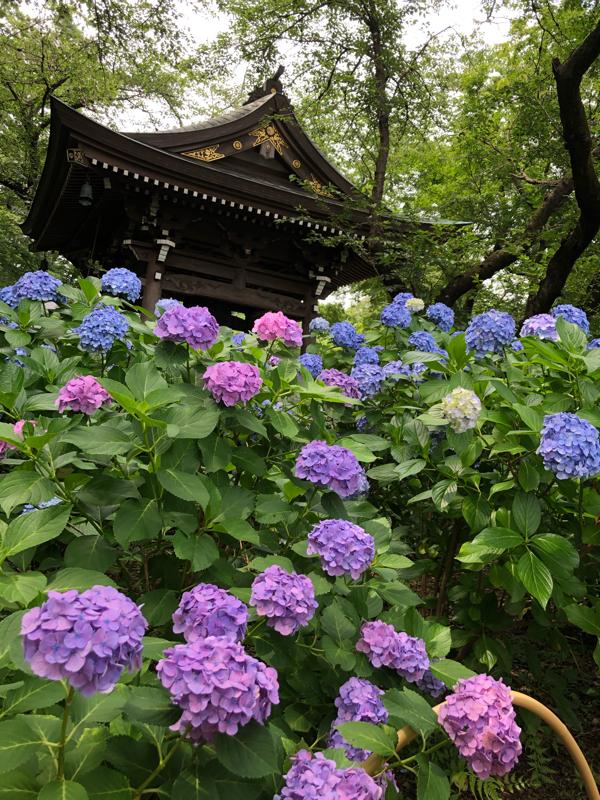 24 | 紫陽花のお寺にいきました