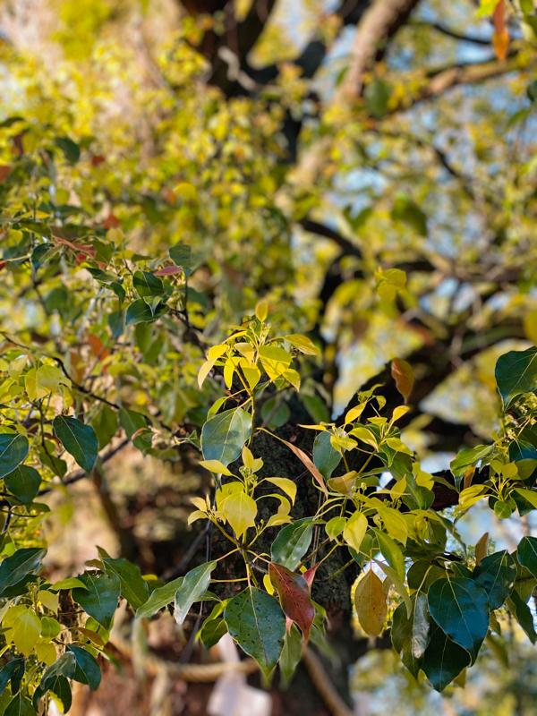 VOL 22 楠木の新芽