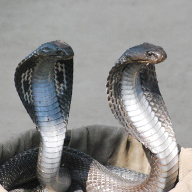 経済用語「コブラ効果」についてざっくり解説