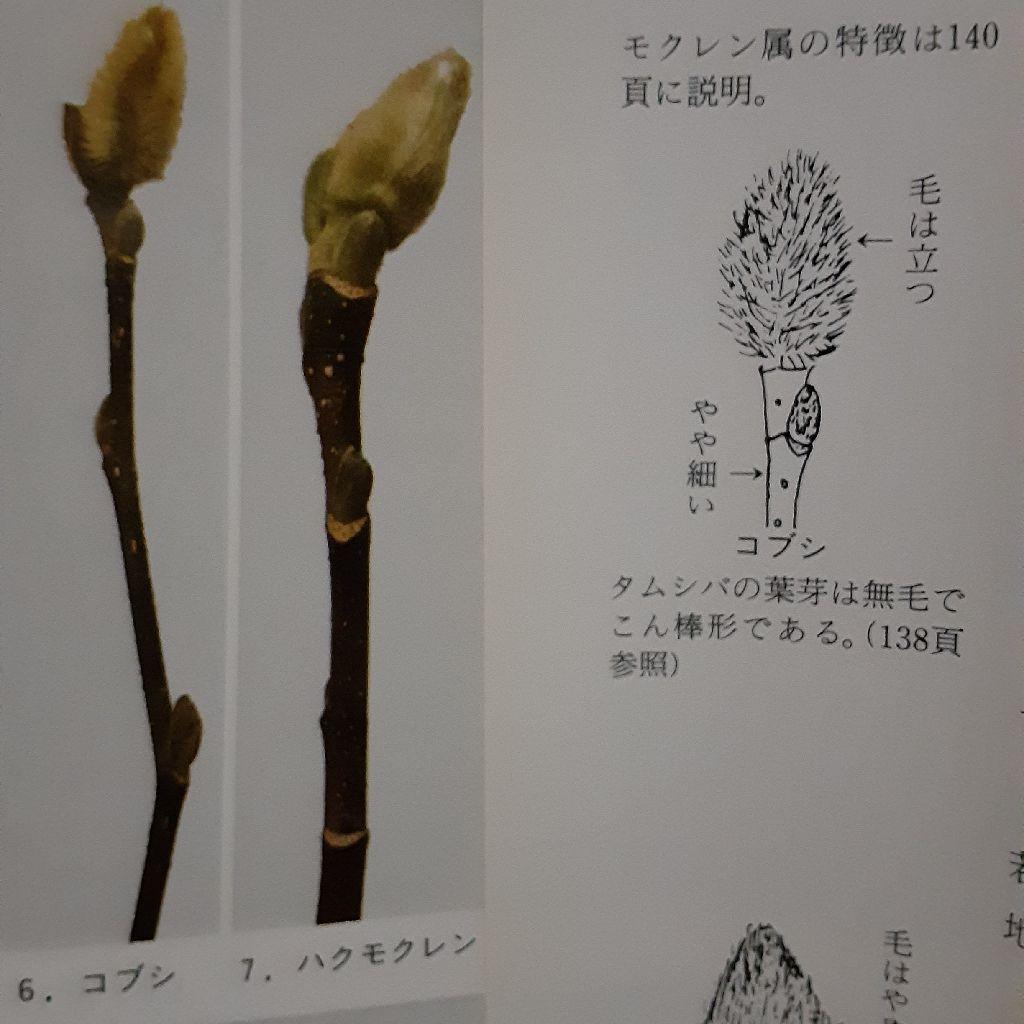 No.206 冬芽の楽しみ方 ~モクレン属~
