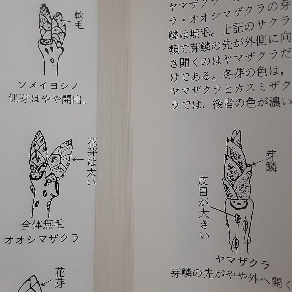 No.211 冬芽の楽しみ方② ~サクラ編~