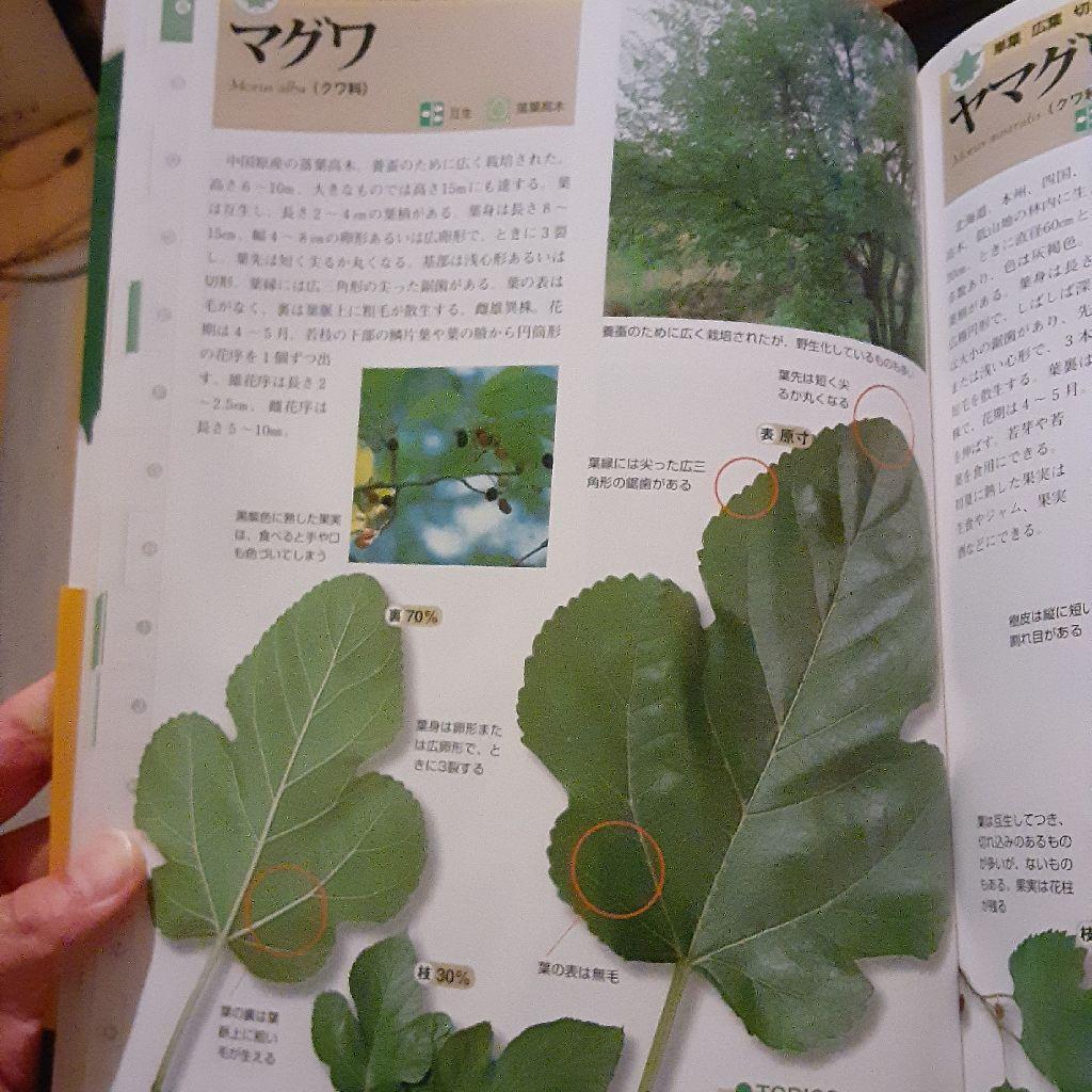 No.317 カイコを育てる / クワの葉