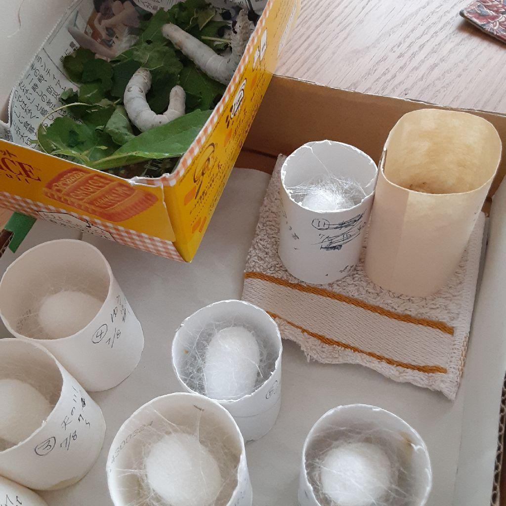 No.336 Hashuのカイコ日記⑭ / ドチビが繭を作り出したよ!