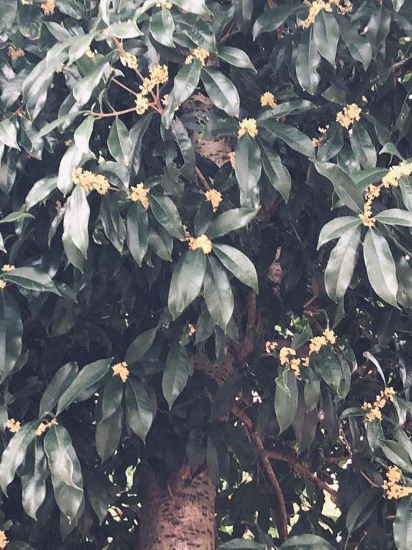 フワッと香った金木犀✾秋だね🤠