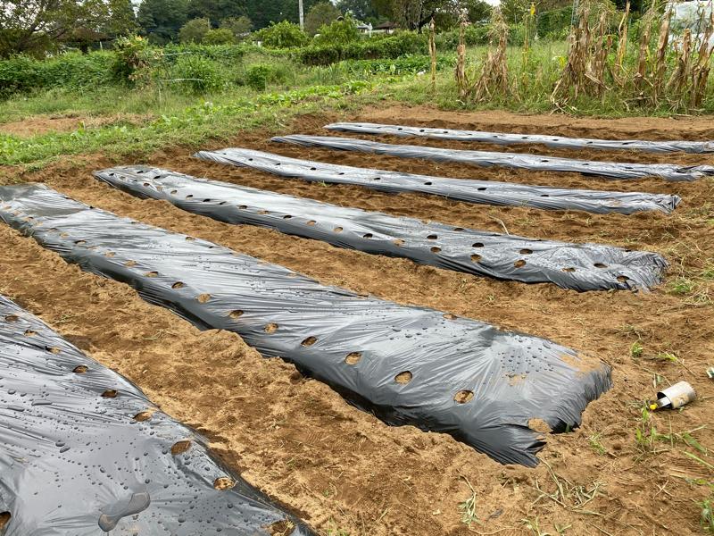 家庭菜園 秋に育てる白菜大根まきました #88