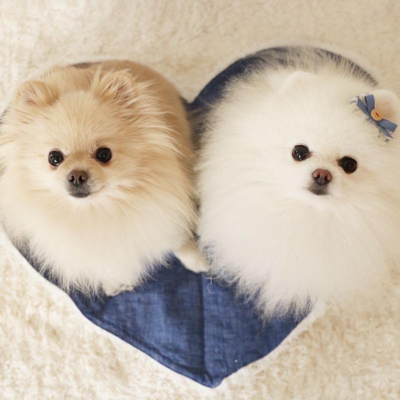 【#76】ポメラニアンってどんなワンコなの?犬種からわかるもみまなちゃんの魅力に迫る!
