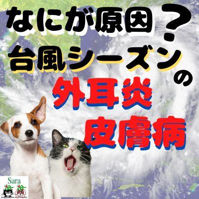 #21. 台風シーズンの外耳炎&皮膚病:なにが原因?なぜ治らない?