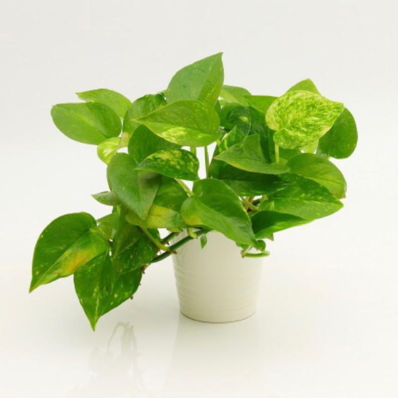 観葉植物置いてますか?