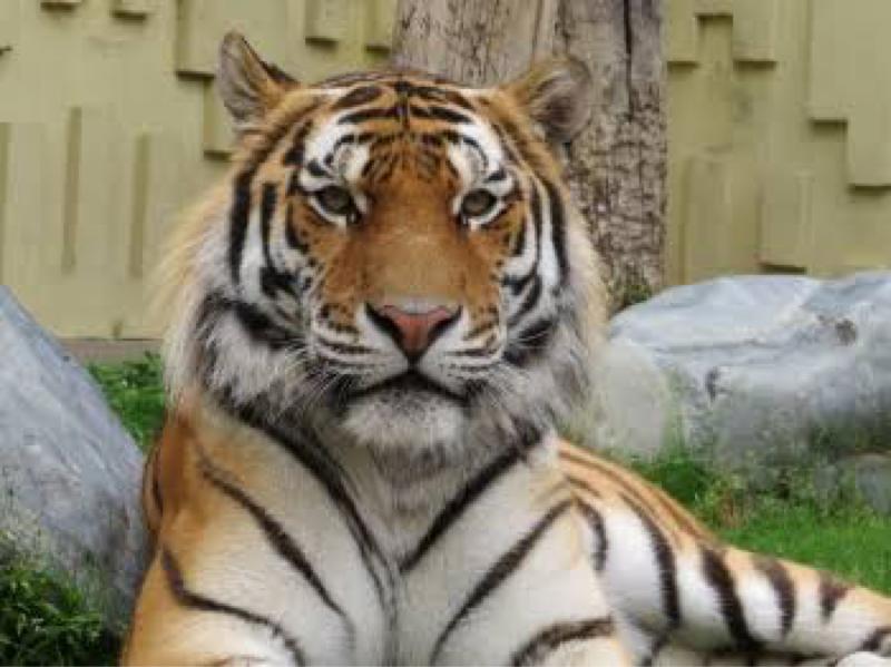 #2 虎と同じポジションの動物を50匹言ってみた
