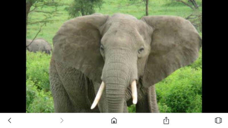Laughter Zen Elephant