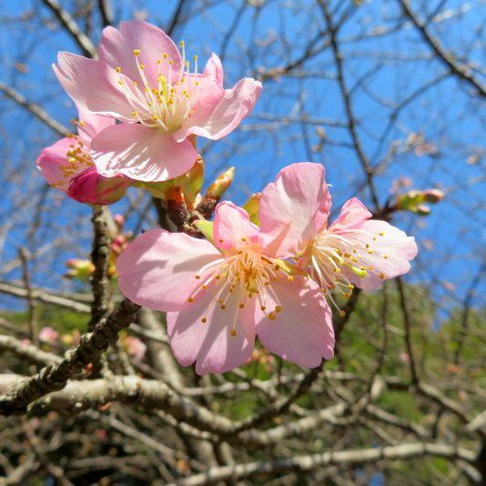 #50 高井城址公園の河津桜が開花していました