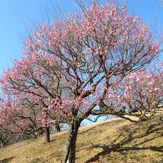 #55 梅の開花が進んでいるあけぼの山農業公園