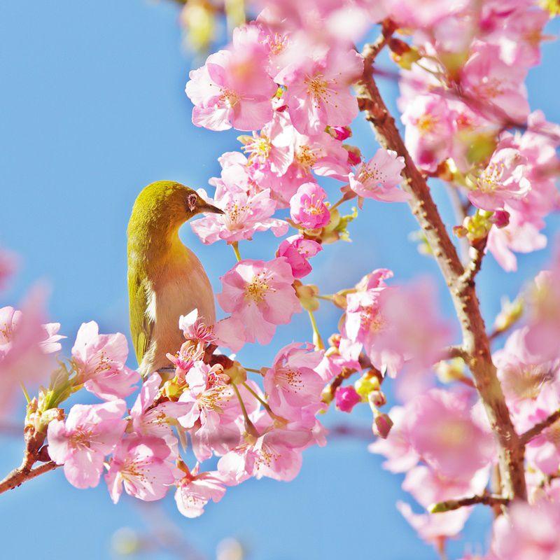 #59 人間不信と河津桜とメジロの話