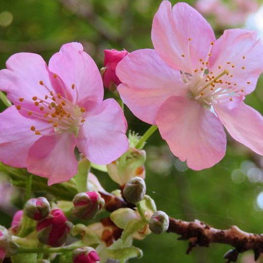 #65 高井城址公園では河津桜の開花が進んでいました。