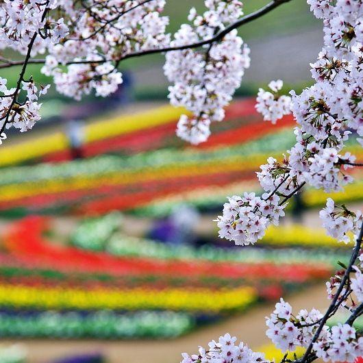 #102 あけぼの山農業公園のチューリップと桜が見頃でした