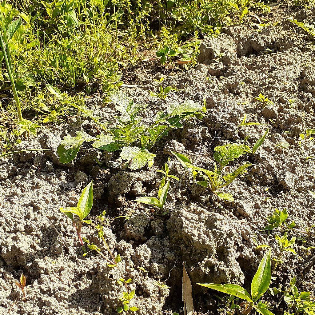 耕すならクワよりスコップがいい。畑の土の作り方。