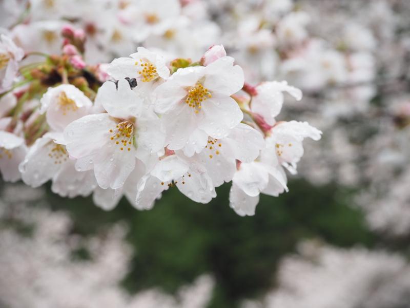 🍊3 桜の名所