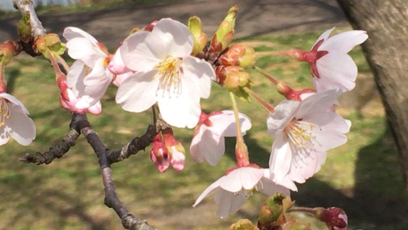 桜みて癒される