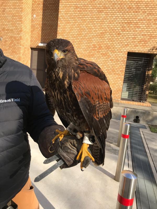 #48 マンションに鷹がやってきた。