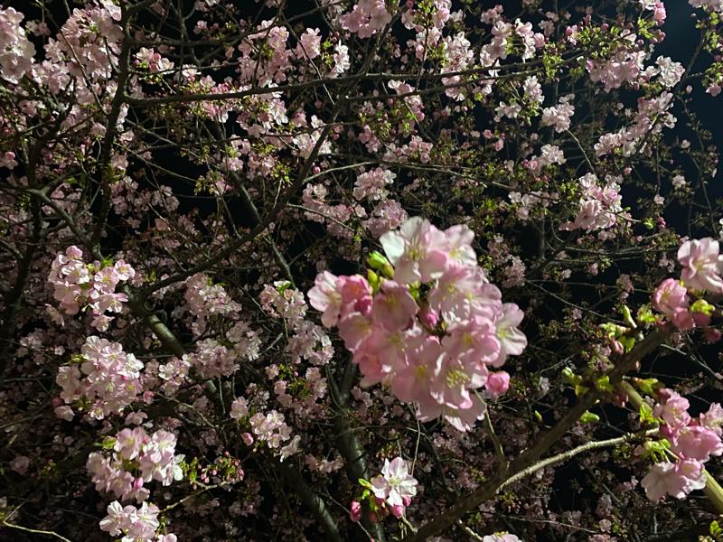Vol.52  河津桜が満開に。